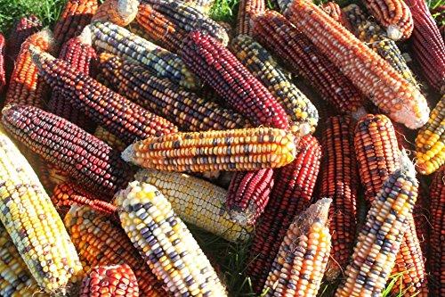 - Indian Corn (24 Full Ears) NOT Seeds-no husk on ears 2018