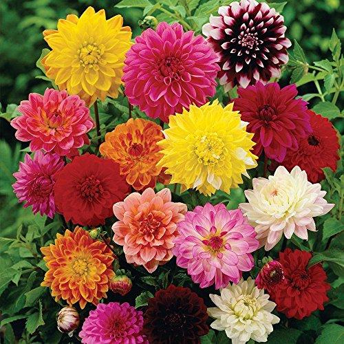 Creative Farmer Flower Seeds : Dhalia Seeds Pot Variety Flower...
