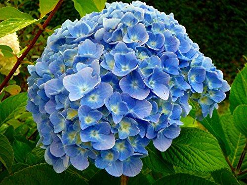 #039Nikko Blue#039 Hydrangea macrophylla  Bigleaf  A 4quot Pot