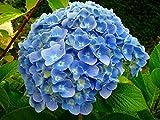 'Nikko Blue' Hydrangea macrophylla - Bigleaf - A