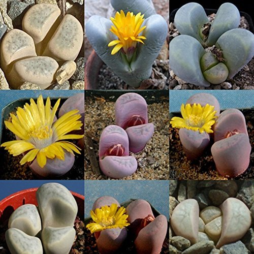 sacchetto Lithops Meyeri Semi di fiore Lupo Jupiter Lithops Pseudotruncatella Mixed Pianta Seme di piante 20 pezzi