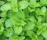 Heirloom 200 Seeds Spearmint Mentha Spicata Mint Pennyroyal Herb Perennial Flower Seeds A019