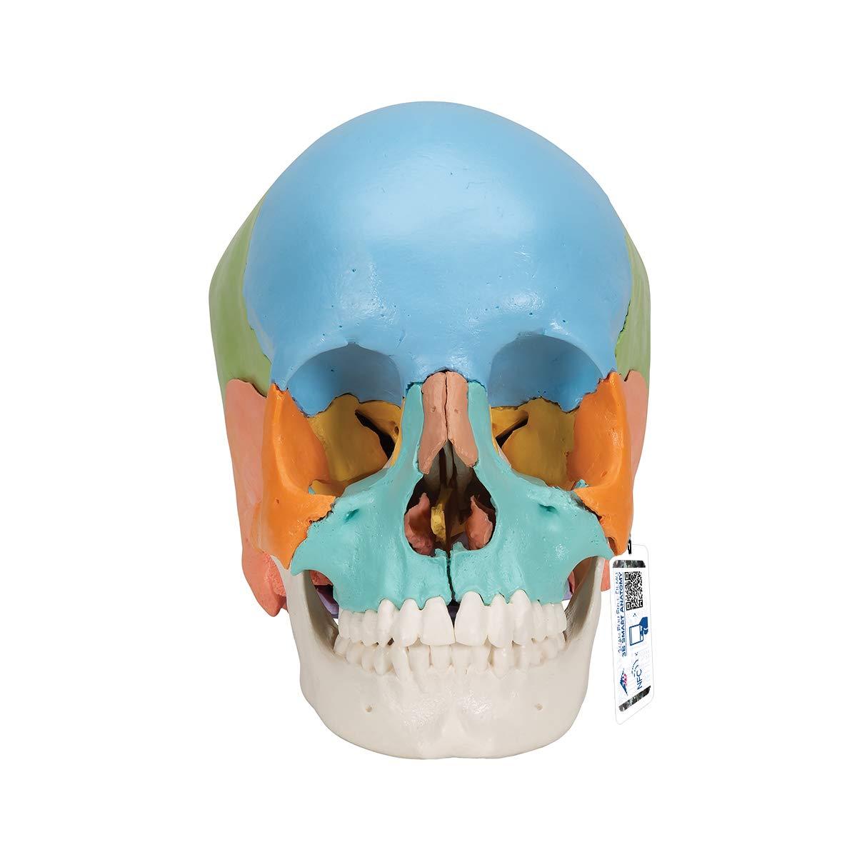 3B Scientific A291 Modelo de Anatomía Humana Cráneo, Kit Didáctico, 22 Partes