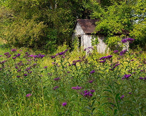 Country Rustic Photography Print Purple Wildflowers Cottage Wall Art 'Garden (Ranch Old Vines)