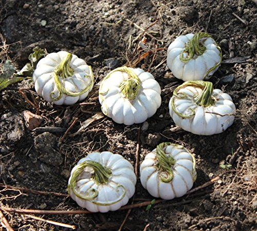 set of 6 assorted miniature fairy garden white pumpkin stakes - Pumpkin Decor