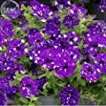 New Petunia Blue Sky Petunia Seeds, 200 + Seeds