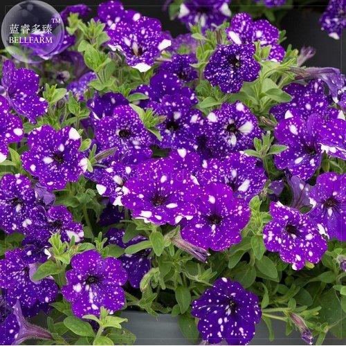 New Petunia Blue Sky Petunia Seeds, 200 + Seeds (Skies Seeds)