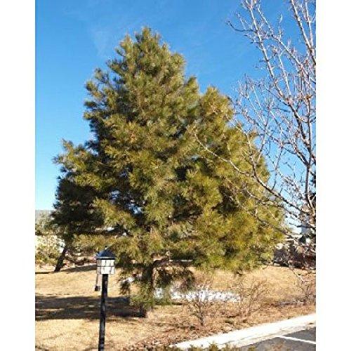 - 1000 Ponderosa Pine Tree Seeds, Pinus Ponderosa - Oregon/washington/california