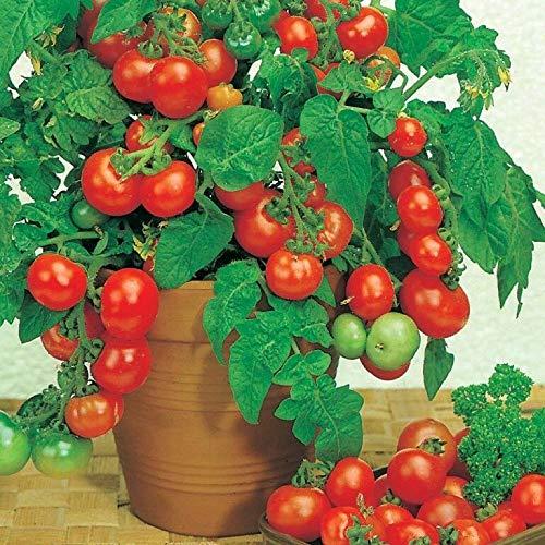 100pcs Cherry Tomatoes Seeds Bonsai Dwarf Balcony Plants Home Decor Garden Pot ()