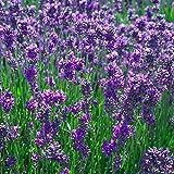 Lavender Common English (Lavandula angustifolia) - 5,000 Seeds Bulk Wholesale