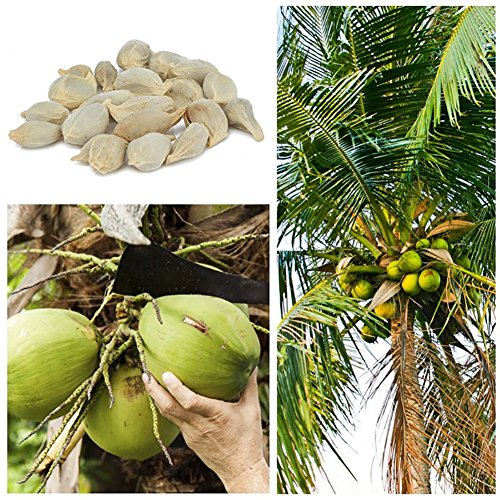 Wintefei 20Pcs Coconut Tree Seeds Giant Miracle Plant Tropical High Nutrition Juicy Fruit (Coconut Tree Seeds)