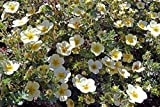 Primrose Beauty Shrubby Cinquefoil | 3 Live True Quart Plants | (Potentilla fruticosa 'Primrose Beauty')
