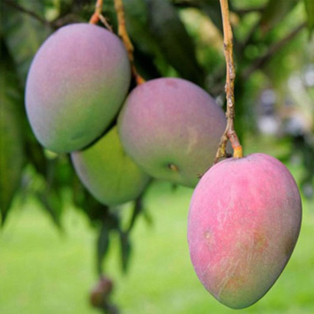 2Pcs Mango Seeds, Organic Mango Tree Seeds Home Garden Planting Fruit Seeds Tookie