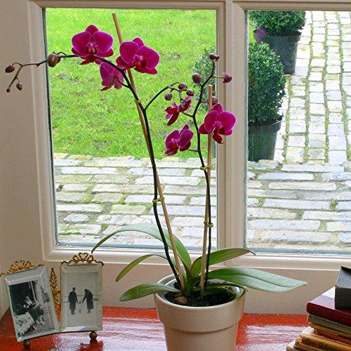 Phalaenopsis Moth Orchid Purple - 1 Plant