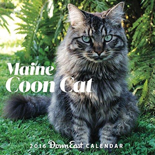 2016 Maine Coon Cat Down East Wall Calendar