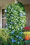 UtopiaSeeds Heavenly Blue Morning Blooming Vine