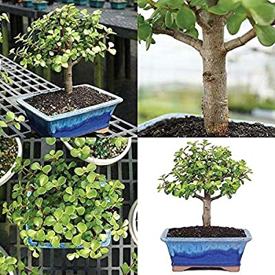 Cutdek Dwarf Jade Bonsai Tree Plant Indoor or Office Houseplant 5 Years Best Gift: Garden & Outdoor