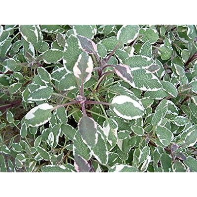 "Sage Tricolor Live Plants USDA Certified Organic 2 ½ "" Pots : Garden & Outdoor"
