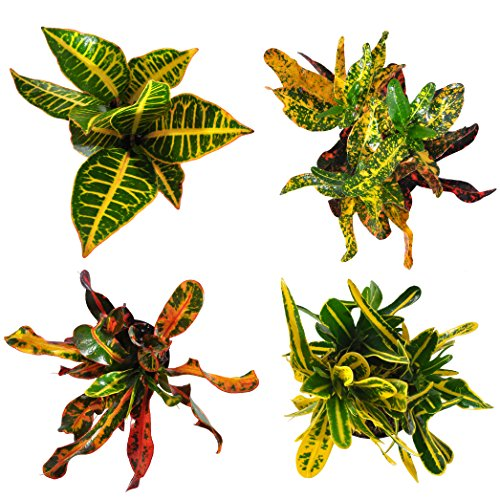 Costa Farms Exotic Angel Croton Live Indoor Plant, Grower's Choice Assortment, 4-Pack by Costa Farms (Image #2)