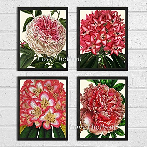 Botanical Print Set of 4 Prints Antique Beautiful Flower Large French Cabbage Rose Peony