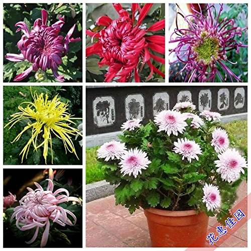 Blue Plant Tropical Plants 'Wallpaper Chrysanthemum Flowers and Green Plants bonsais Indoor Courtyard Four Seasons Chrysanthemum pots Bonsai 20pcs (Mix Color)