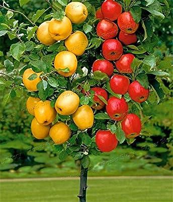 Dwarf bonsai apple tree 20 Seeds Pick Delicious Fruits In Your Backyard Easy -growing Bonsai Fruit