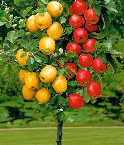 dwarf-bonsai-apple-tree-20-seeds-pick-delicious-fruits-in-your-backyard-easy-growing-bonsai-fruit