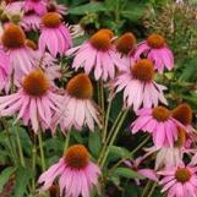 Herb Seeds - Echinacea angustifolia - 160 Seeds: Toys & Games