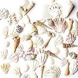 Sea Shells Mixed Beach Seashells - Various Sizes up to 2