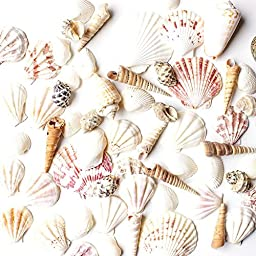 Sea Shells Mixed Beach Seashells - Various Sizes up to 2\