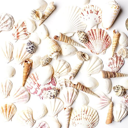 "Sea Shells Mixed Beach Seashells - Various Sizes up to 2"" Shells -Bag of Approx. 50 Seashells from Super Z Outlet"