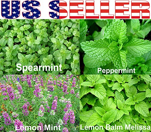 100+ ORGANICALLY GROWN Mint Mix 4Varieties Heirloom NON-GMO Spearmint Peppermint (Heirloom Mix)