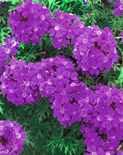 - Flower Seeds: Verbena Hybrid Variety Flower Seeds Blue everblooming Flowers Garden [Home Garden Seeds eco Pack] Plant Seeds by