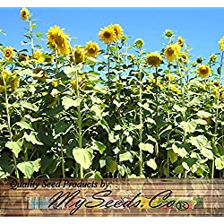 1000 x Mammoth Gray Grey Stripe HUGE Sunflower - Seed Seeds - 9 - 12 Feet Tall - EXTENDED BLOOMS - Zones 1-10 - By MySeeds.Co
