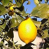 Limonero 4 estaciones - Maceta 22cm. Altura aprox. 110cm. - Planta viva - (Envíos sólo a Península)