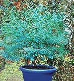 Eucalyptus 'France Bleu' Rengun