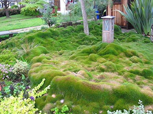Zoysia grass seeds - Zoysia Tenuifolia - No Mow Lawn -1/8 lb ...