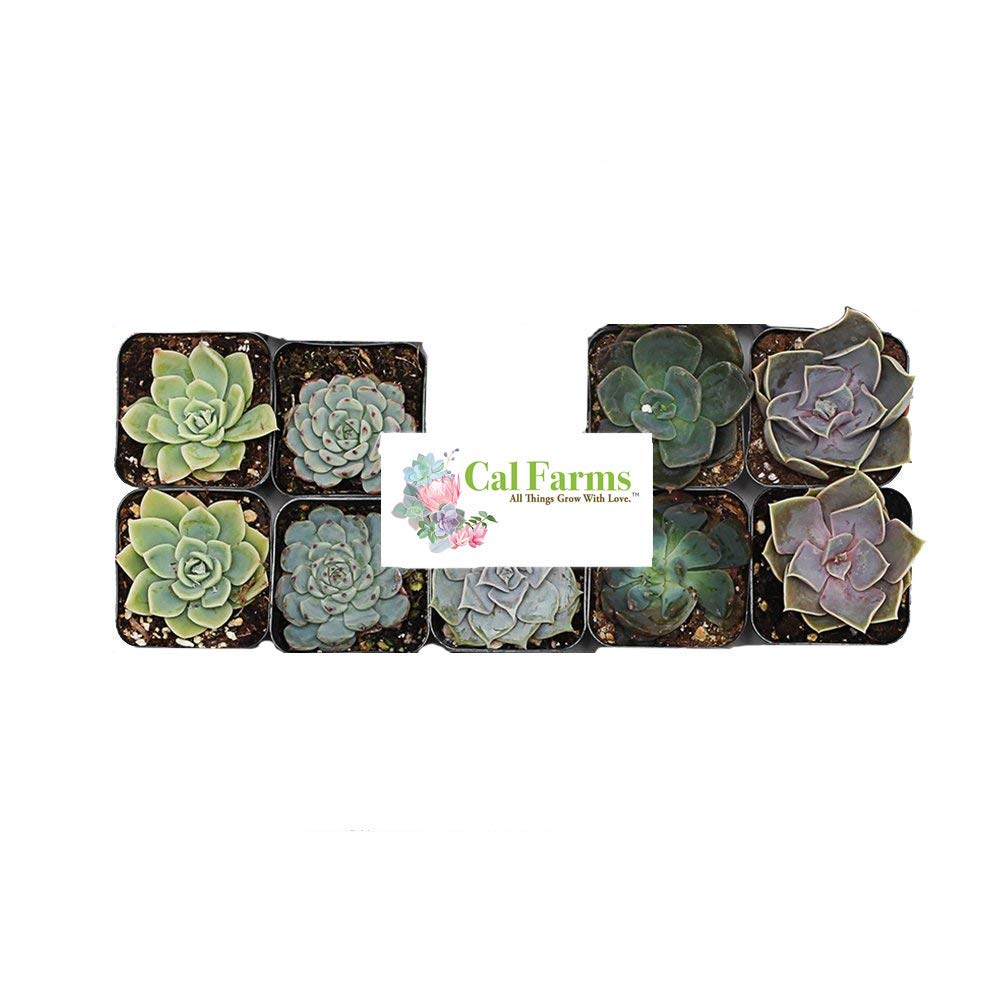 CAL Farms 2'' Rosettes Succulents - for Weddings, Private Parties, Gifts, Party Favors, Gardening and Special Events (Pack of 9) by CAL Farms (Image #3)