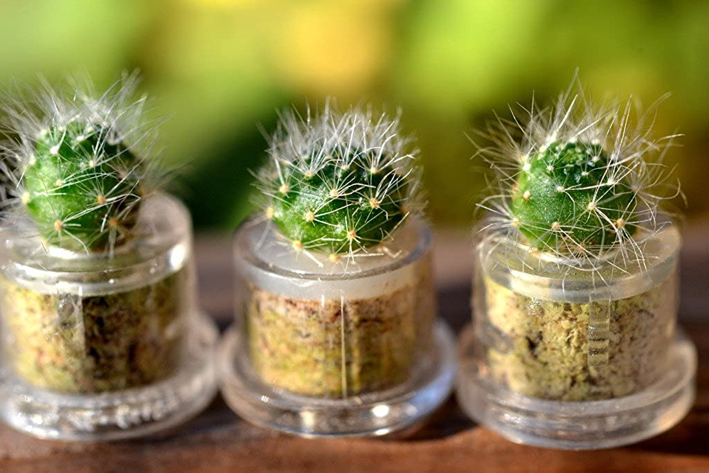 Amazon.com: Snow White – Cactus Live Planta collar. Cactus ...
