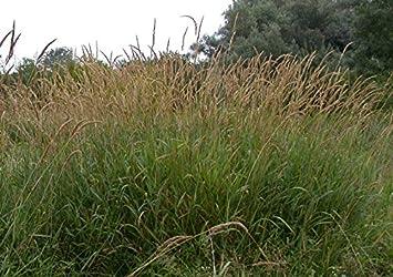 Asklepios-seeds® - 20.000 Semillas de Phalaris arundinacea Hierba Cinta, cañizo de mallas