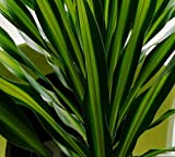 """6"""" Pot - Riki Madagascar Dragon Tree - Dracaena - Easy to Grow House Plant"""
