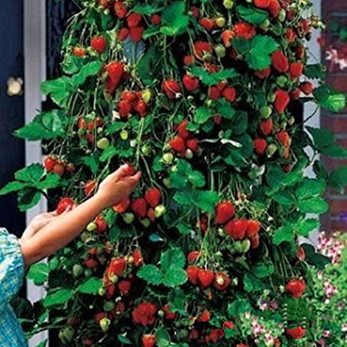 Red 100pcs Strawberry Climbing Strawberry Fruit Plant Seeds Home Garden New (To Plant How Marigold Seeds)