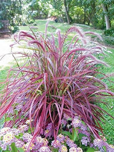 Purple Fountain Grass 10 Seeds - Ornamental Specimen