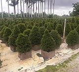 PlantVine Syzygium paniculatum 'Globulus', Eugenia - 10 Inch Pot (3 Gallon), Live Plant - 4 Pack