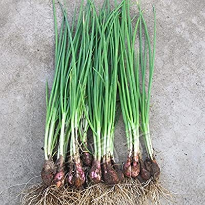 30seeds/bag Four Seasons balcony shallot seed planting potted vegetables flavored rapeseed : Garden & Outdoor