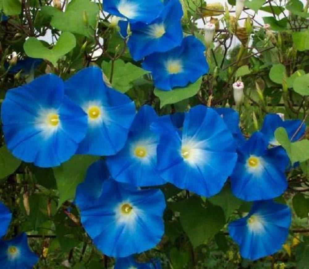 Heavenly Blue Morning Glory Seeds, 1 oz, 900+ Seeds