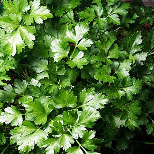 Dark Green Italian Flat-Leaf Parsley Seeds: 25 Lb - Bulk, Non-GMO Herb Seeds for Herbal Garden & Micro Greens by Mountain Valley Seed Company