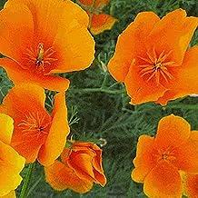 Everwilde Farms - 1000 Orange California Poppy Native Wildflower Seeds - Gold Vault Jumbo Seed Packet