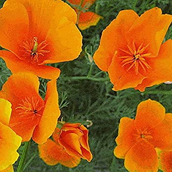 Amazon 1 200 california orange poppy flower seeds e everwilde farms 1000 orange california poppy native wildflower seeds gold vault jumbo seed packet mightylinksfo