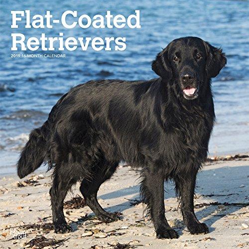 Flat Coated Retrievers 2019 12 x 12 Inch Monthly Square Wall Calendar, Animals Dog Breeds Retrievers